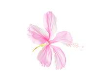 Rosa isolerad hibiskusblomma Royaltyfri Foto