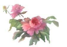 Rosa isolerad pionvattenfärg Royaltyfria Bilder