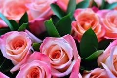 Rosa ist das ein tragende Rosa lizenzfreie stockfotografie