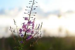 Rosa Ivan Tea eller blommaSally i fältet Pil-ört på solnedgången äpplet clouds treen för sunen för naturen för blommaliggandeänge royaltyfri fotografi