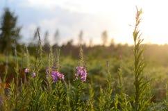 Rosa Ivan Tea eller blommaSally i fältet Pil-ört på solnedgången äpplet clouds treen för sunen för naturen för blommaliggandeänge fotografering för bildbyråer