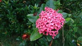 Rosa Ixora blomma Arkivfoto