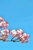 Rosa Japaner Kirschblüte 1 Lizenzfreie Stockfotografie