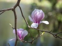 Rosa japanska magnoliablommor arkivfoton