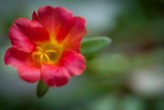 Rosa japonesa Imagens de Stock