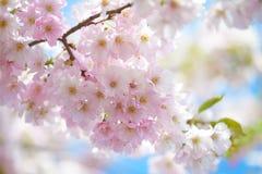 Rosa körsbärblomningar Arkivfoton