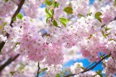 Rosa körsbärblomningar Arkivfoto