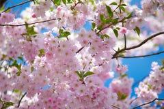 Rosa körsbärblomningar Fotografering för Bildbyråer