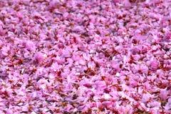 Rosa körsbärblomningar Royaltyfri Bild