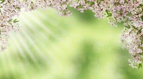 Rosa körsbärblomningar Strålarna och bokehen för sol` s Vår panorama royaltyfria foton