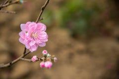 rosa körsbärsröd blom för vår Fotografering för Bildbyråer