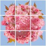 Rosa körsbärsröd blomning Royaltyfria Bilder