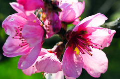 Rosa körsbärsröd blomning Arkivbild