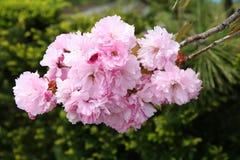 Rosa körsbärsröd blomning Fotografering för Bildbyråer