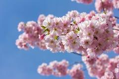 Rosa körsbärsröd blomning i trevligt soligt väder Royaltyfri Bild