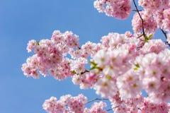 Rosa körsbärsröd blomning i trevligt soligt väder Fotografering för Bildbyråer