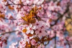 Rosa körsbärsröd blomning i trevligt soligt väder Royaltyfri Fotografi