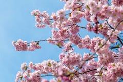 Rosa körsbärsröd blomning i trevligt soligt väder Royaltyfri Foto