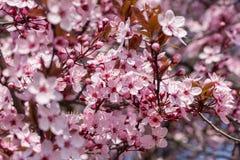 Rosa körsbärsröd blomning i trevligt soligt väder Arkivfoto