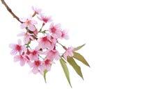 Rosa körsbärsröd blomning, isolerade sakura blommor Royaltyfria Foton