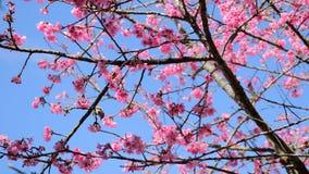 Rosa körsbärsröd blomning med den lilla fågelställningen på filial med blått sk Fotografering för Bildbyråer