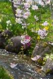 Rosa körsbärsröd blomning och chanel Royaltyfria Bilder