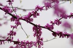 Rosa körsbärsröd blomning och knoppar Royaltyfria Bilder