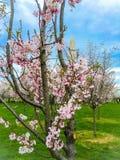 rosa körsbärsröd blomning och Washington Monument royaltyfri fotografi