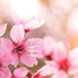 Rosa körsbärsröd blomning sakura Royaltyfri Fotografi