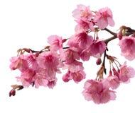 Rosa körsbärsröd blomning sakura Royaltyfri Foto