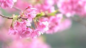 Rosa körsbärsröd blossomCherry blomning, japansk blomningkörsbär på det Sakura trädet Sakura blommor är representanten av japan f arkivfilmer