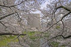 Rosa körsbärsröda blomningar i våren Japan Fotografering för Bildbyråer