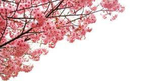 Rosa körsbärsröda blomningar med vitt utrymme royaltyfri fotografi