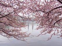 Rosa körsbärsröda blomningar på den inre Alster sjön på den lugna morgonen med stadshuset i oskarp bakgrund royaltyfri bild