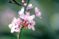 Rosa körsbärsröda blomningar på en slappt suddig bakgrund Arkivbild
