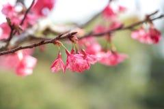 Rosa körsbärsröda sakura blommor Royaltyfria Foton