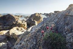 Rosa Küstenblumen auf Gezeiten- Felsen Lizenzfreies Stockfoto