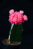 Rosa kaktus Royaltyfri Bild
