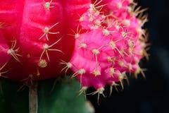 Rosa kaktus Fotografering för Bildbyråer