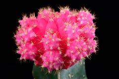 Rosa kaktus Royaltyfria Bilder