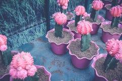 Rosa Kaktus Stockfotos