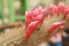 Rosa Kaktus-Blume Lizenzfreies Stockbild