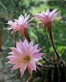 Rosa kaktusblomma Royaltyfri Fotografi