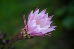 Rosa kaktusblomma efter regnet arkivfoton