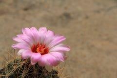 Rosa kaktusblomma med mortelbakgrund Royaltyfria Foton