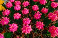 Rosa kaktusblommor i krukor på kaktuns shoppar i blommamarknad Arkivfoto