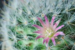 Rosa Kaktusblumen und weiße Kaktusdorne auf grünem Kaktushintergrund stockfotos
