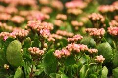 Rosa kalanchoeblommor Arkivfoton