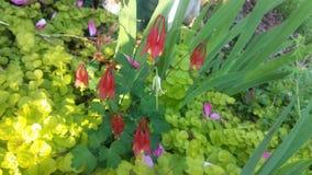 Rosa kaprifol- och irisstammar med ljust - göra grön jordningsräkningen och spridda rosa kronblad Royaltyfria Foton