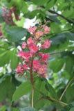 Rosa Kastanienblütennahaufnahme Stockfotografie